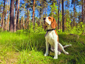 Beagle in forest — Stock Photo