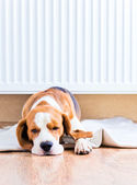 The dog near to a warm radiator — 图库照片