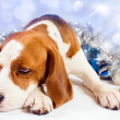Sad hound — Stock Photo