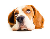 Beagle head — Stock Photo