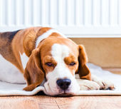 The dog near to a warm radiator — Stock Photo