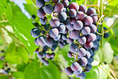 Red grape in vineyard — Stock Photo