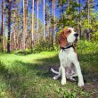 Beagle in forest - Stok fotoraf