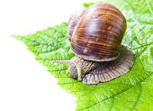 Snail eating green vine leaves — Stock Photo