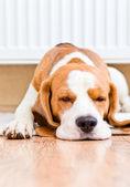 Der hund hat eine pause in der nähe einen warmen heizkörper — Stockfoto