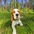 Beagle on a grass in forest — Stock Photo