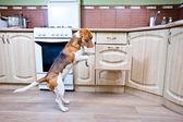 Perro en cocina — Foto de Stock
