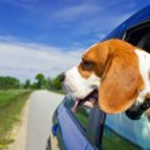 Постер, плакат: Beagle in the blue car