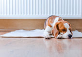 Dog has a rest near to a warm radiator — Stock Photo