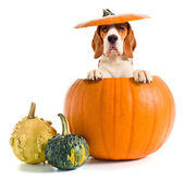 Beagle in pumpkin — Stock Photo