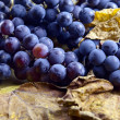 Stock Photo: Crop of grapes for wine manufacture