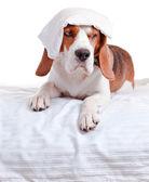 Mycket sjuk hund på vit bakgrund — Stockfoto