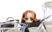 Beagle in kitchen — Stock Photo