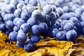 Crop of grapes for wine manufacture — 图库照片