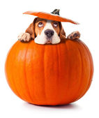 Beagle in pumpkin — 图库照片