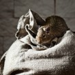 Degu (Octodon degus) is a small caviomorph rodent — Foto Stock