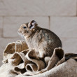 Degu (Octodon degus) is a small caviomorph rodent — Stock Photo