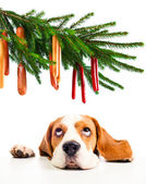 Beagle and its Christmas dreams — Stock Photo