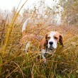 Stock Photo: Beagle in forest