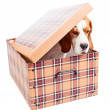 Beagle in box — Stock Photo