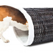 Beagle and basket for linen — Stock Photo