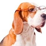 Dog in glasses — Stock Photo #35857077