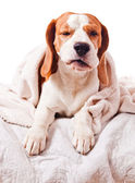 Dog under a blanket on white — Stock Photo