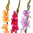 Gladiolus — Stock Photo #38911923