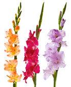 Gladiolus — Stock Photo