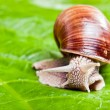 Grapevine snail — Stock Photo #39322247