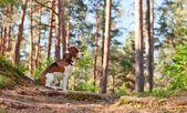 Beagle in wald — Stockfoto