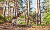 Beagle in bos — Stockfoto