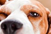 Eye of a dog — Stock Photo