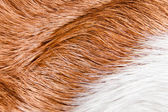 Healthy skin of a sleek-haired dog ( beagle ) — Stock Photo