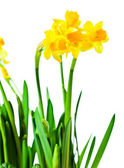 Narcissus  isolated on white  — Stockfoto