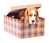 Beagle in box — Stock fotografie