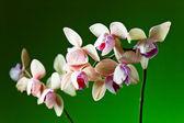 orchid on  green background — ストック写真