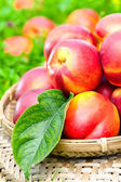Ripe nectarines  — Stockfoto