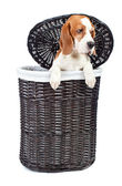 Beagle in basket — Stock Photo