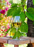White wine in vineyard — Stock Photo