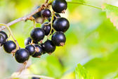 blackcurrant — Stock Photo