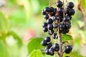 blackcurrant — Foto Stock