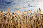 Harvest under cloudy sky — Stock Photo