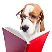 dog in glasses reads the red book  — Stock Photo