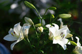 White garden flowers — Stockfoto