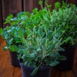 Herbs for planting — Stock Photo