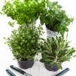 Herbs for planting - Stock Photo