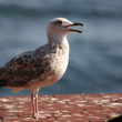 Seagull - Stock Photo