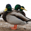 Ducks and drakes — Stock Photo