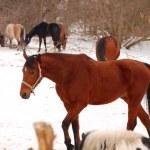 Horses — Stock Photo #42921765